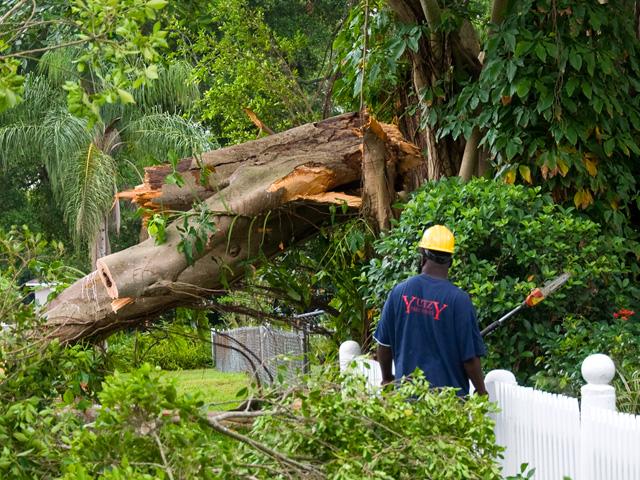 Storm damaged Banyan tre